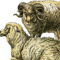 Realistic Sheep Ilustration