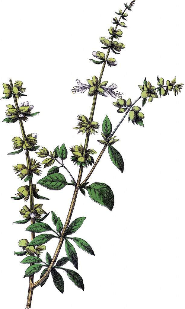 Vintage Basil Herb Image