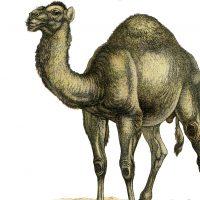 Vintage Camel Picture