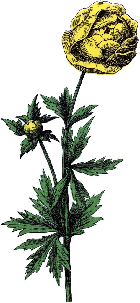 Vintage Ranunculus Flower Image