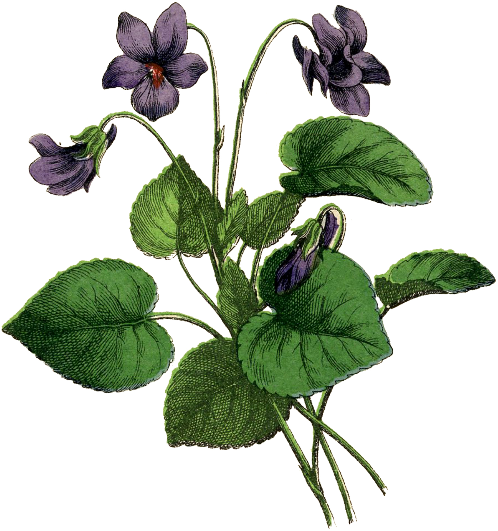 Gorgeous Vintage Violets Image! - The Graphics Fairy