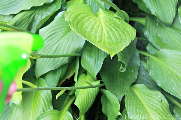 All natural spray for hostas