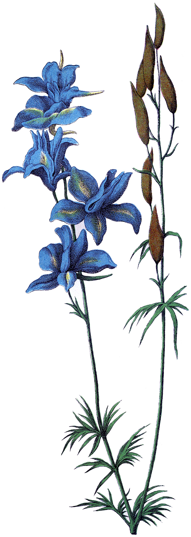 Beautiful Delphinium Flower Image! - The Graphics Fairy
