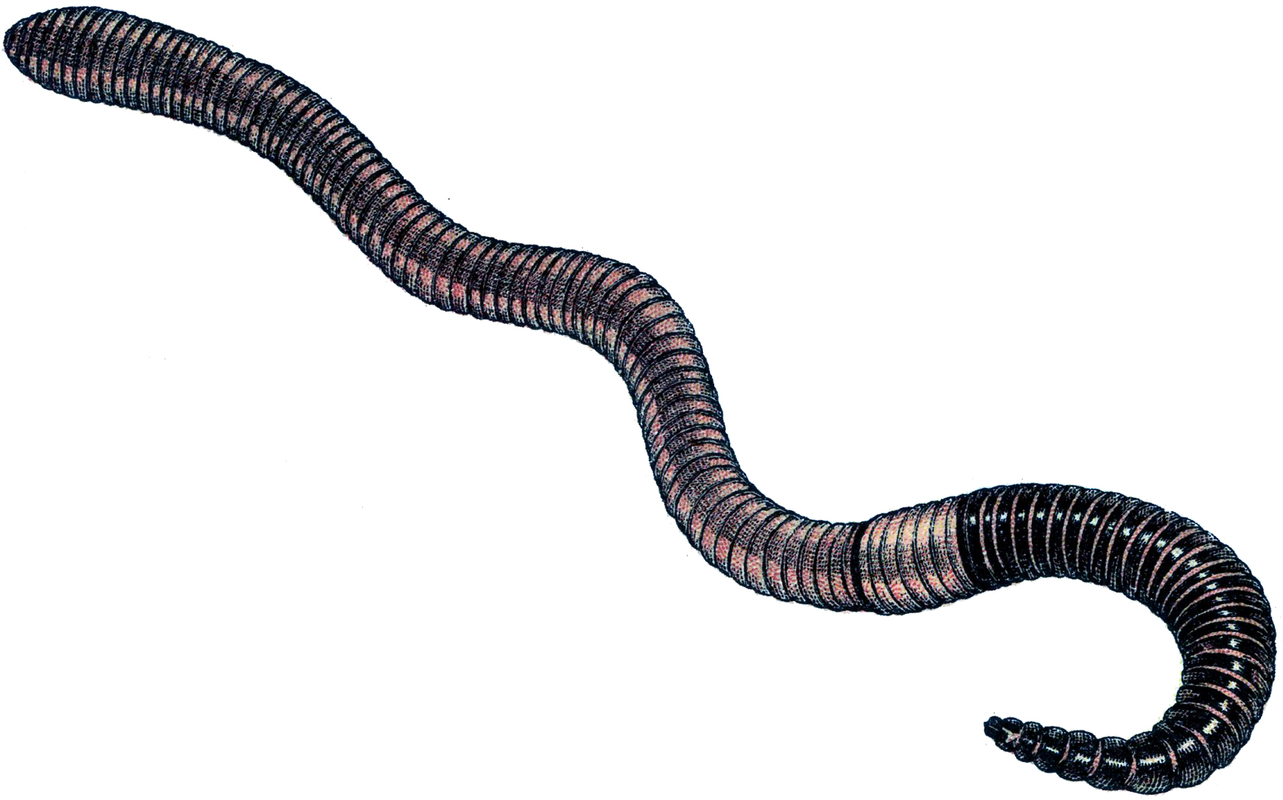 Vintage Earth Worm Image - The Graphics Fairy