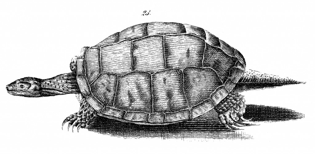 Free Turtle Image Download