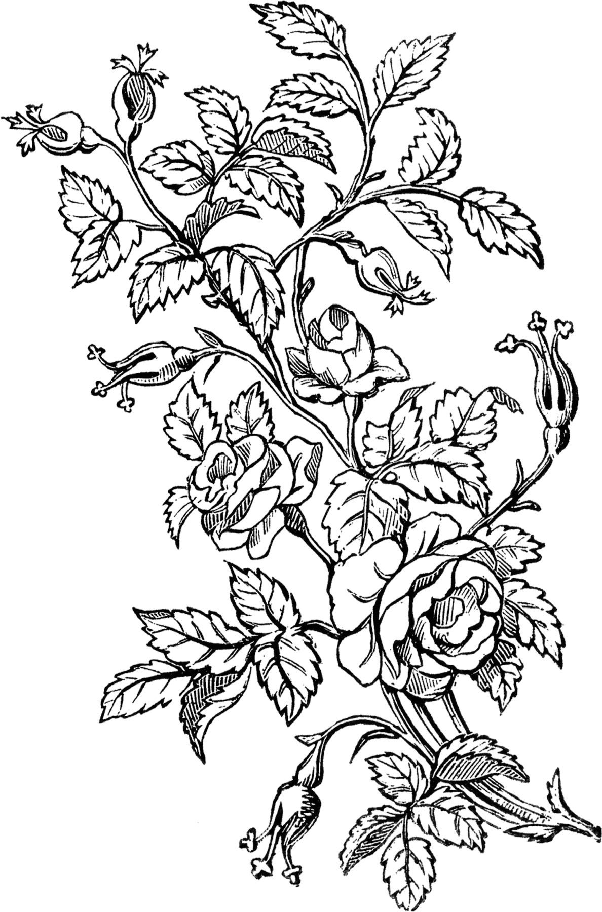 http://thegraphicsfairy.com/wp-content/uploads/2014/06/Ornamental-Roses-Design-GraphicsFairy.jpg
