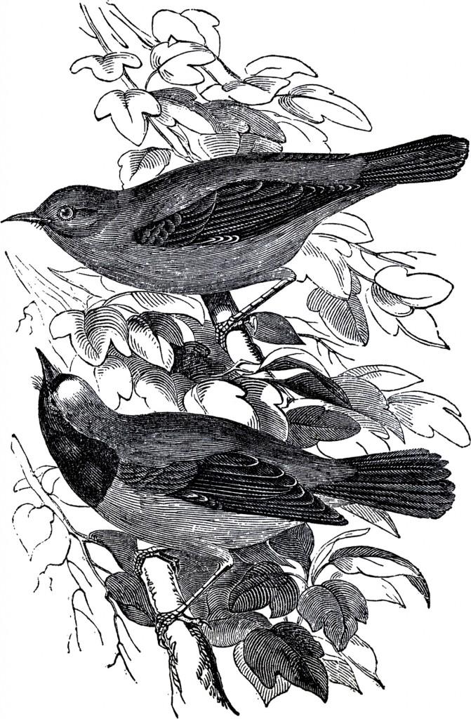 Public Domain Pair of Birds Illustration