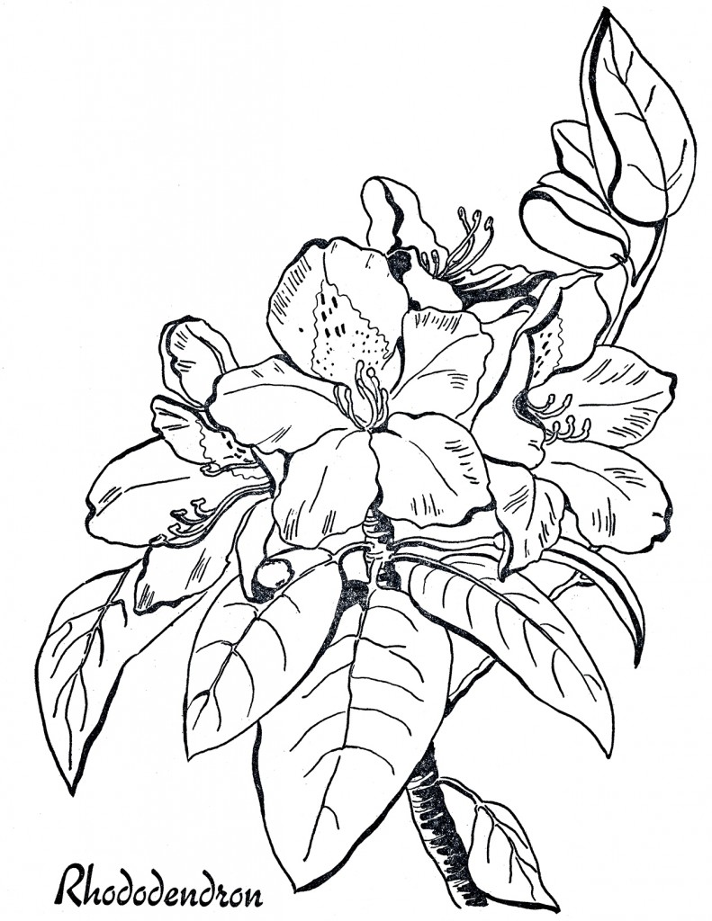 Rhododendron Line Art