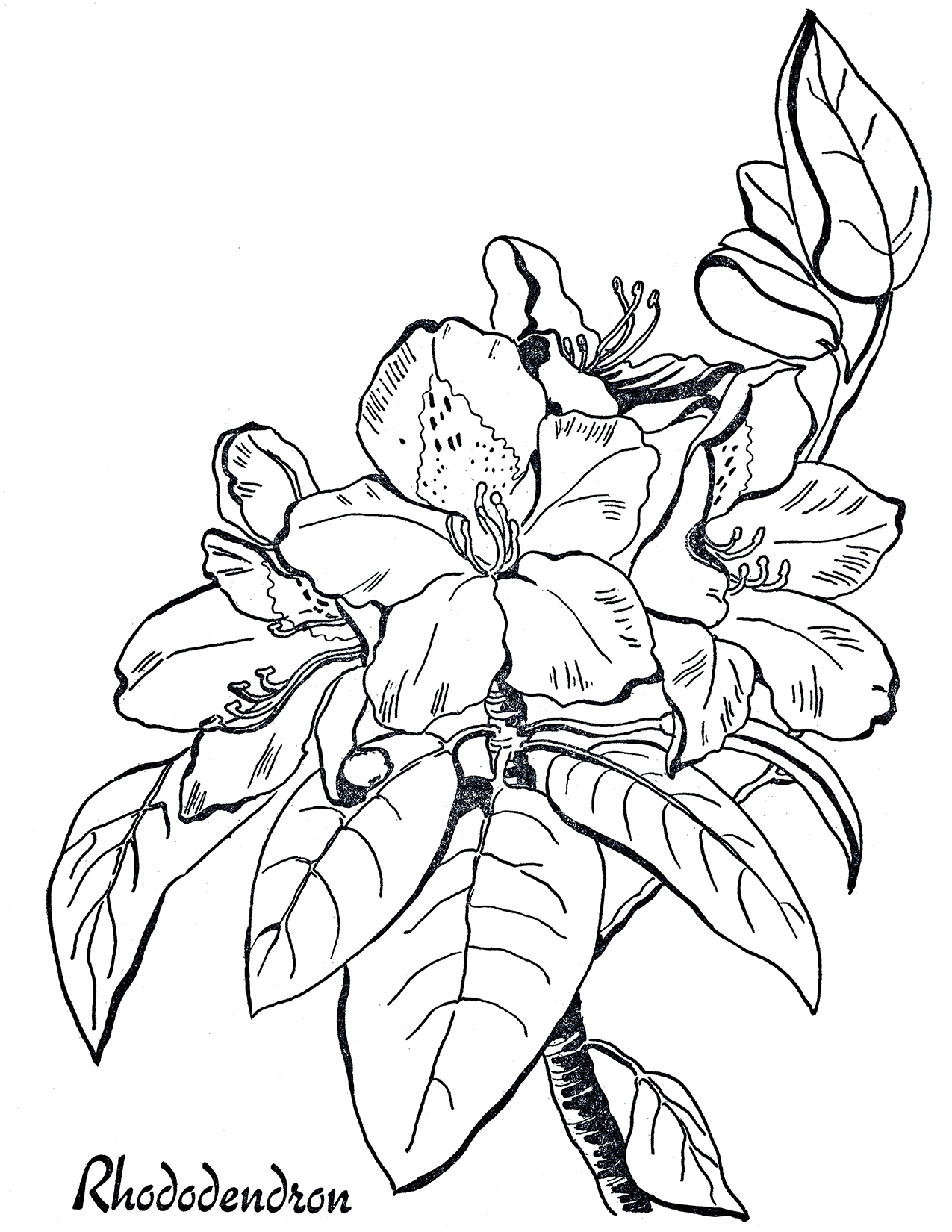 rhododendron line art coloring page the graphics fairy