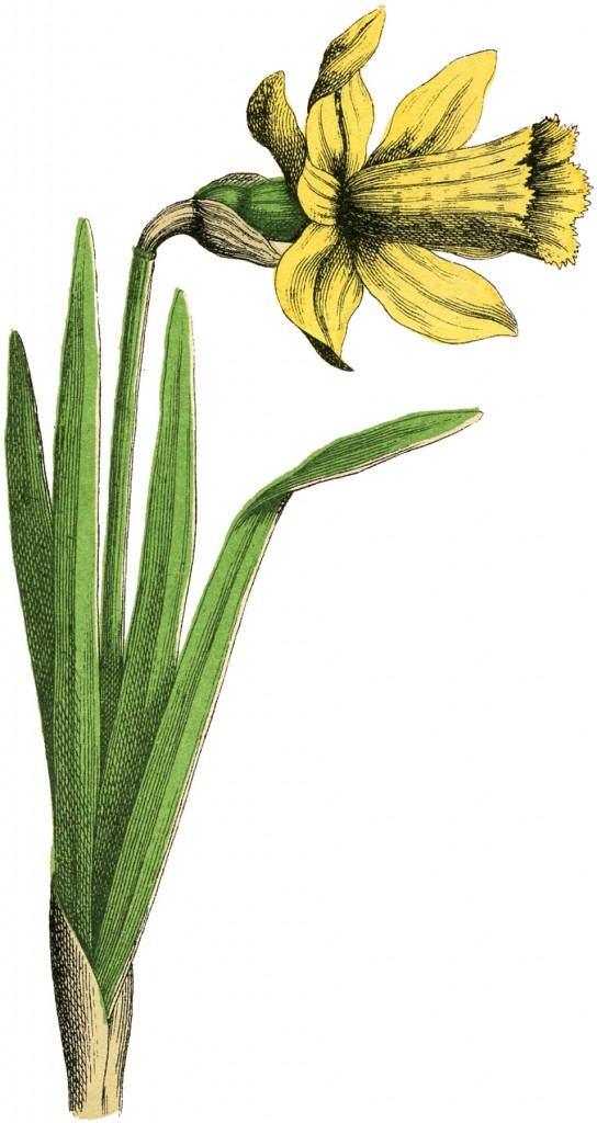Vintage Daffodil Picture