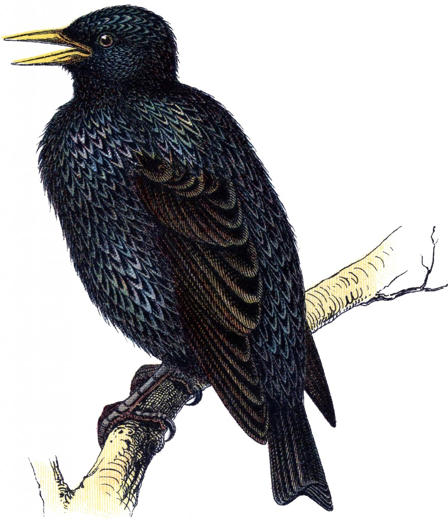 Vintage Starling Bird Image