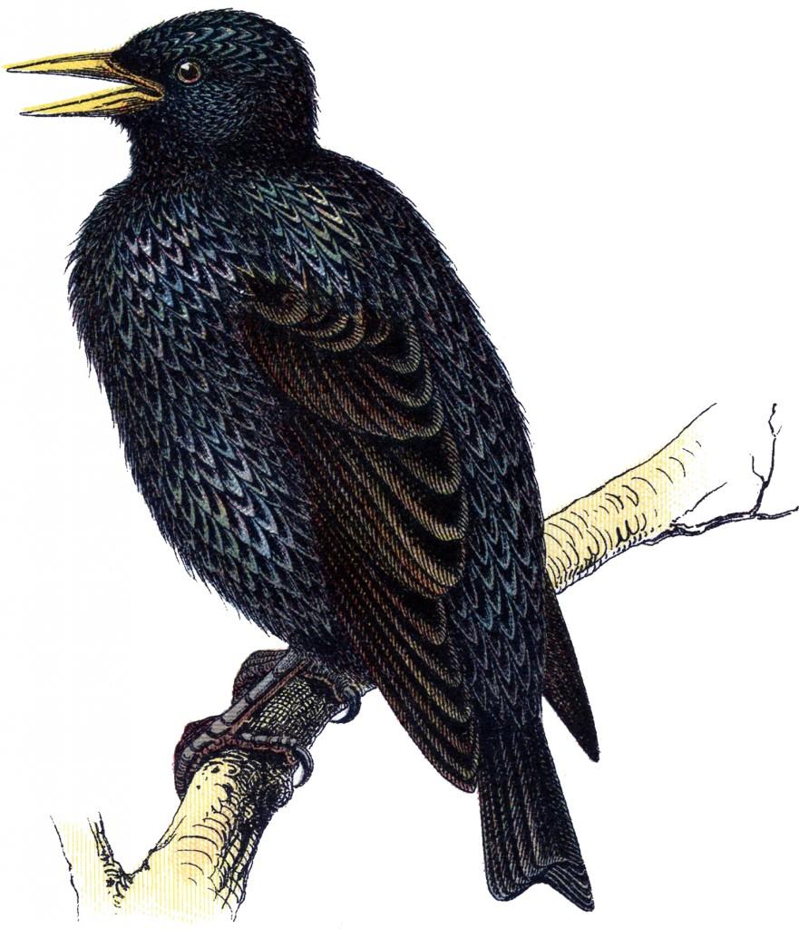 Vintage Starling Bird Image