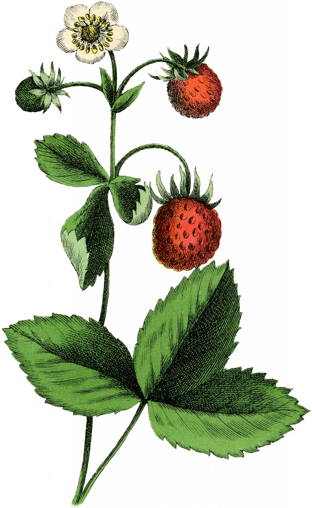Vintage Strawberry Plant Image