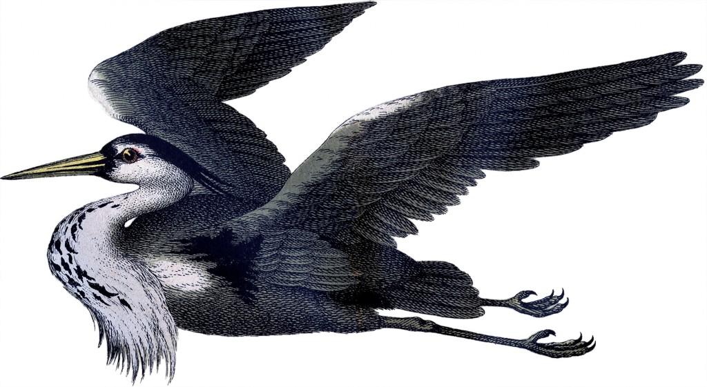 Gray Heron Image