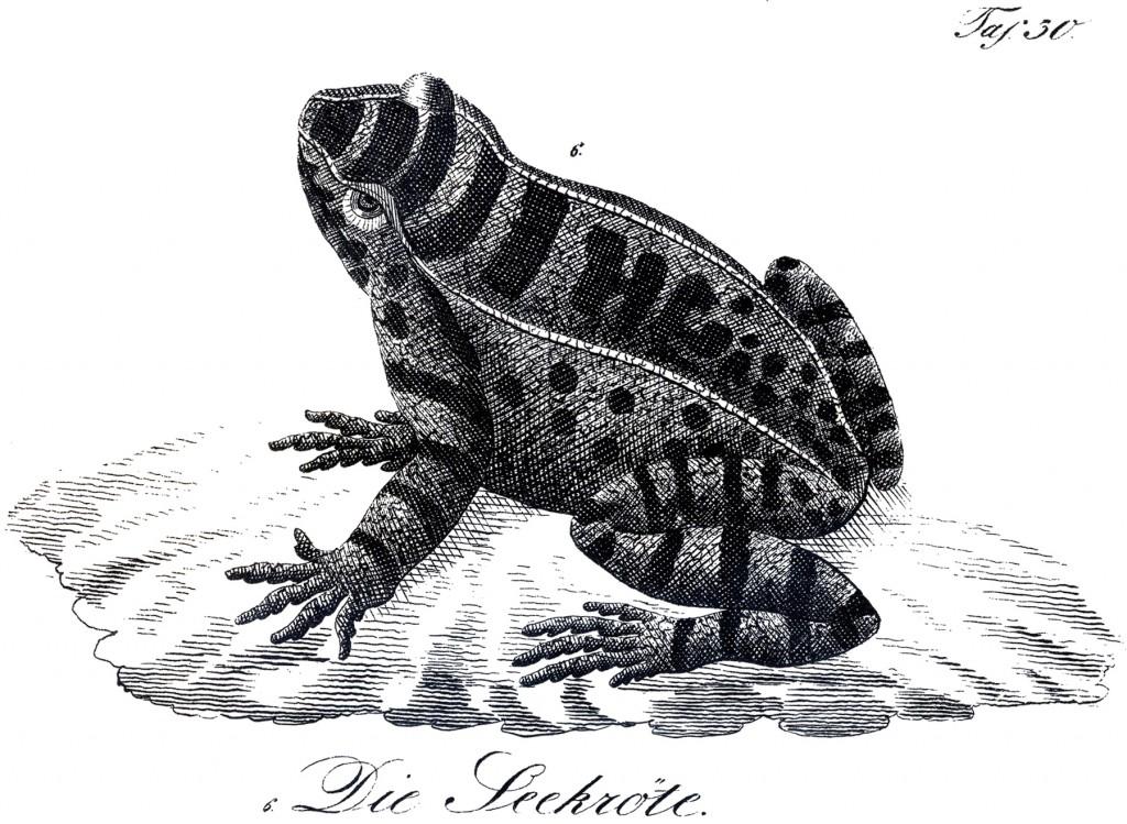 Royalty Free Frog Image