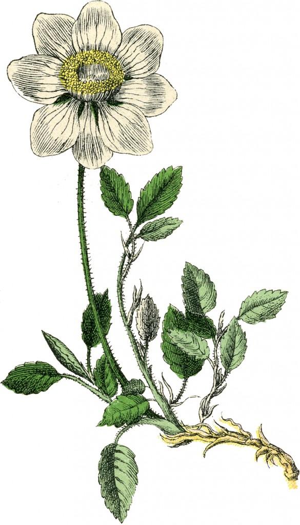 Vintage Botanical Flower Images