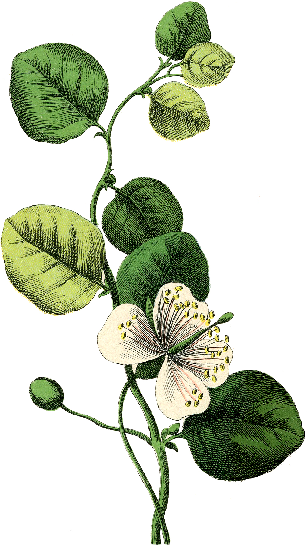 3 vintage botanical flower images the graphics fairy - The graphics fairy ...