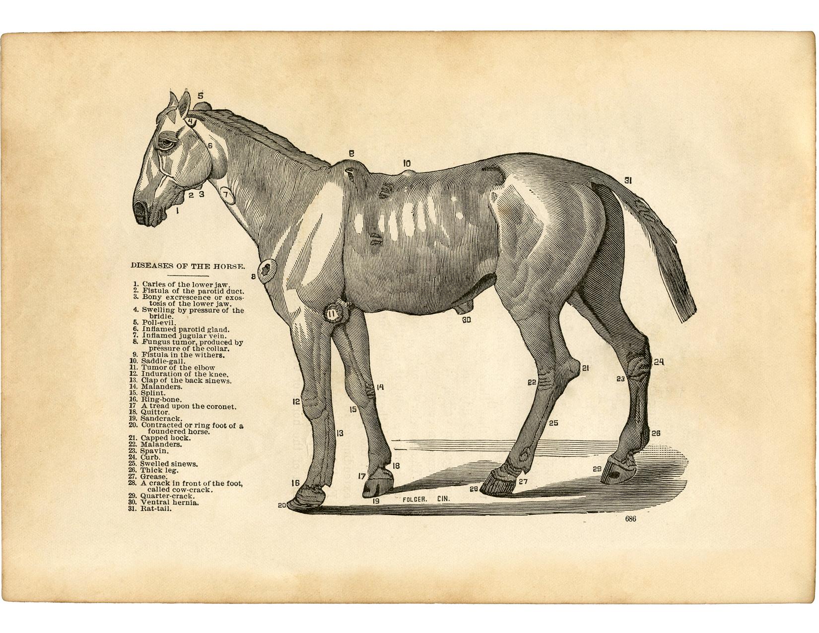 Vintage Horse Diseases Diagram - Unusual! - The Graphics Fairy