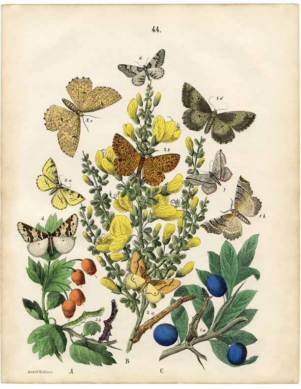 Vintage Printable Natural History Butterflies