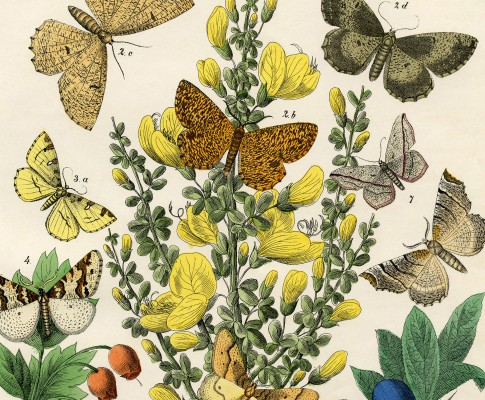 Vintage Printable Natural History – Butterflies – Moths!