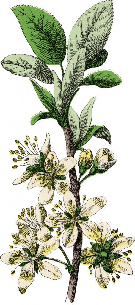 Botanical Plum Blossom Image