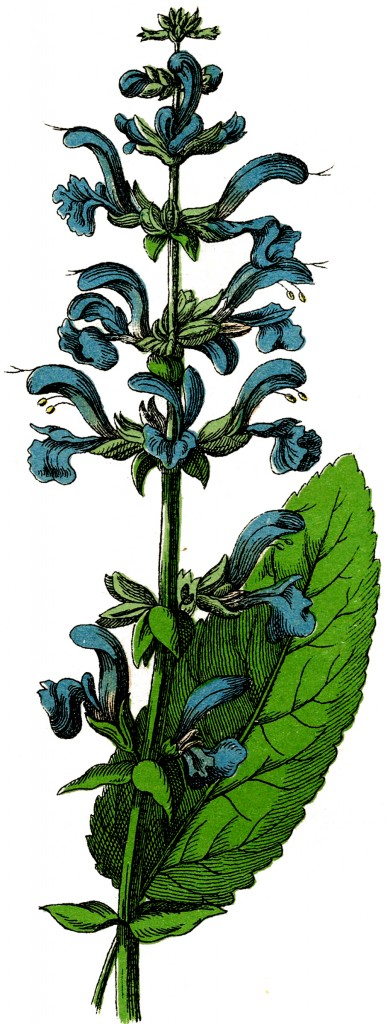 Vintage Blue Salvia Flower Image