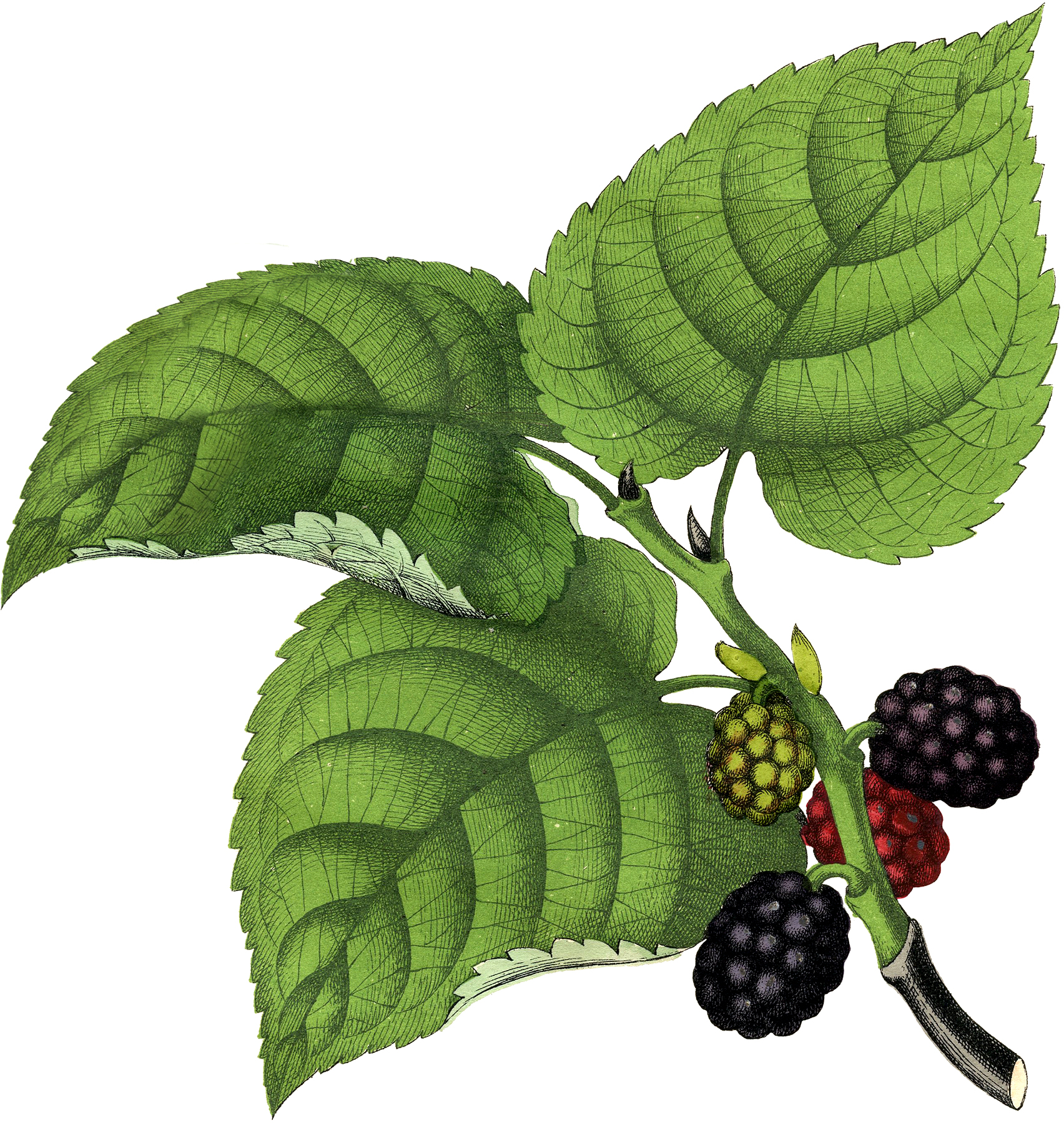 Vintage Mulberries Clip Art The Graphics Fairy