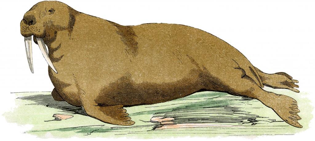 Vintage Walrus Image