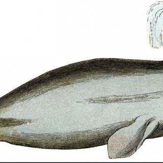 Vintage Whale Image