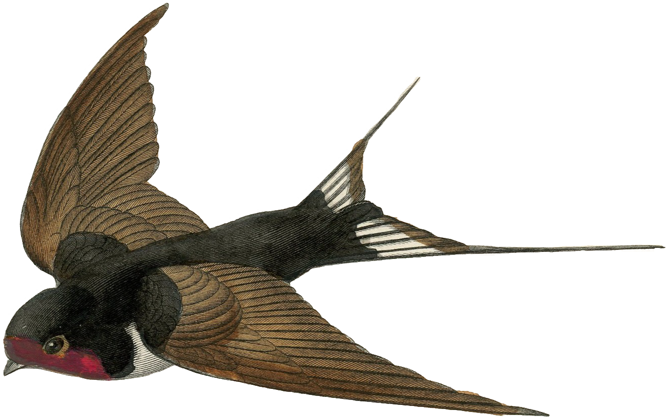 free png Swallow Clipart images transparent