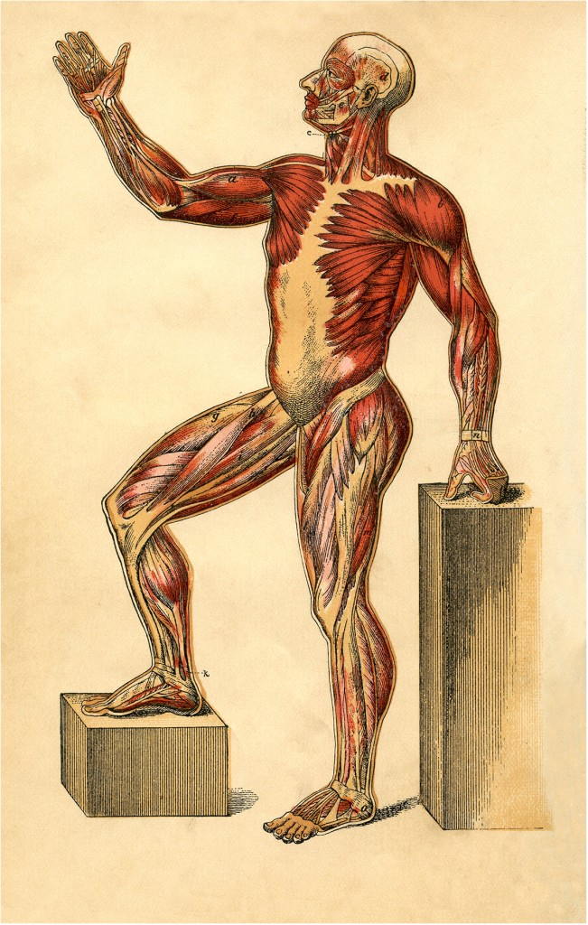 Anatomy Muscle Man Image
