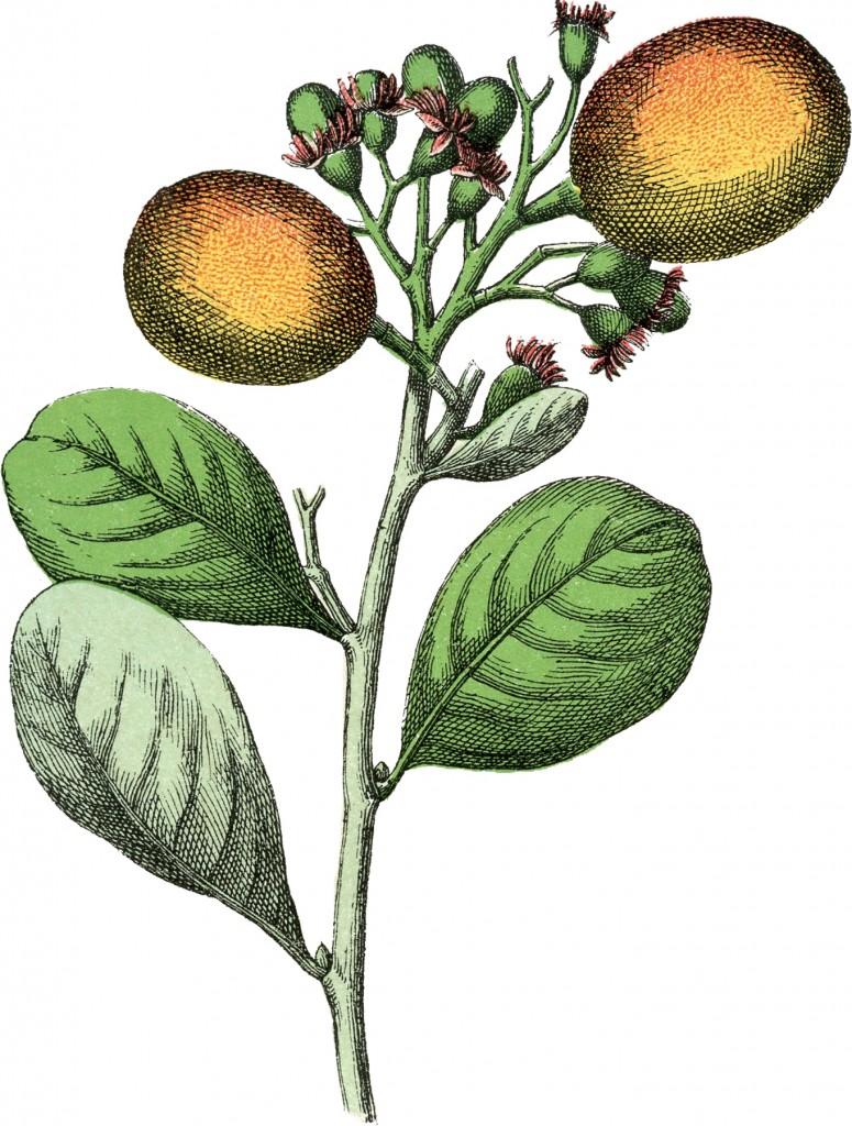 Botanical Paradise Plum Image