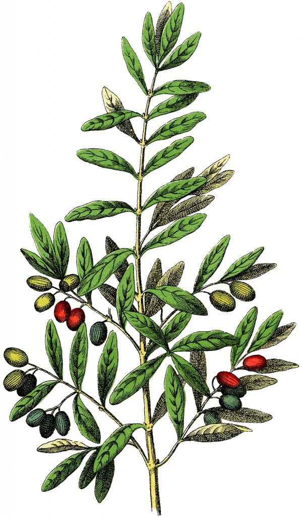 Free Botanical Olives Clip Art