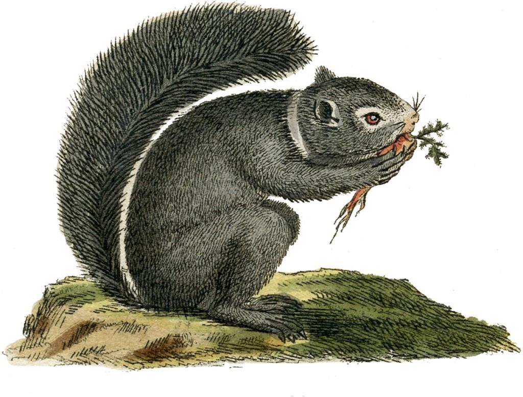 Vintage Gray Squirrel Image