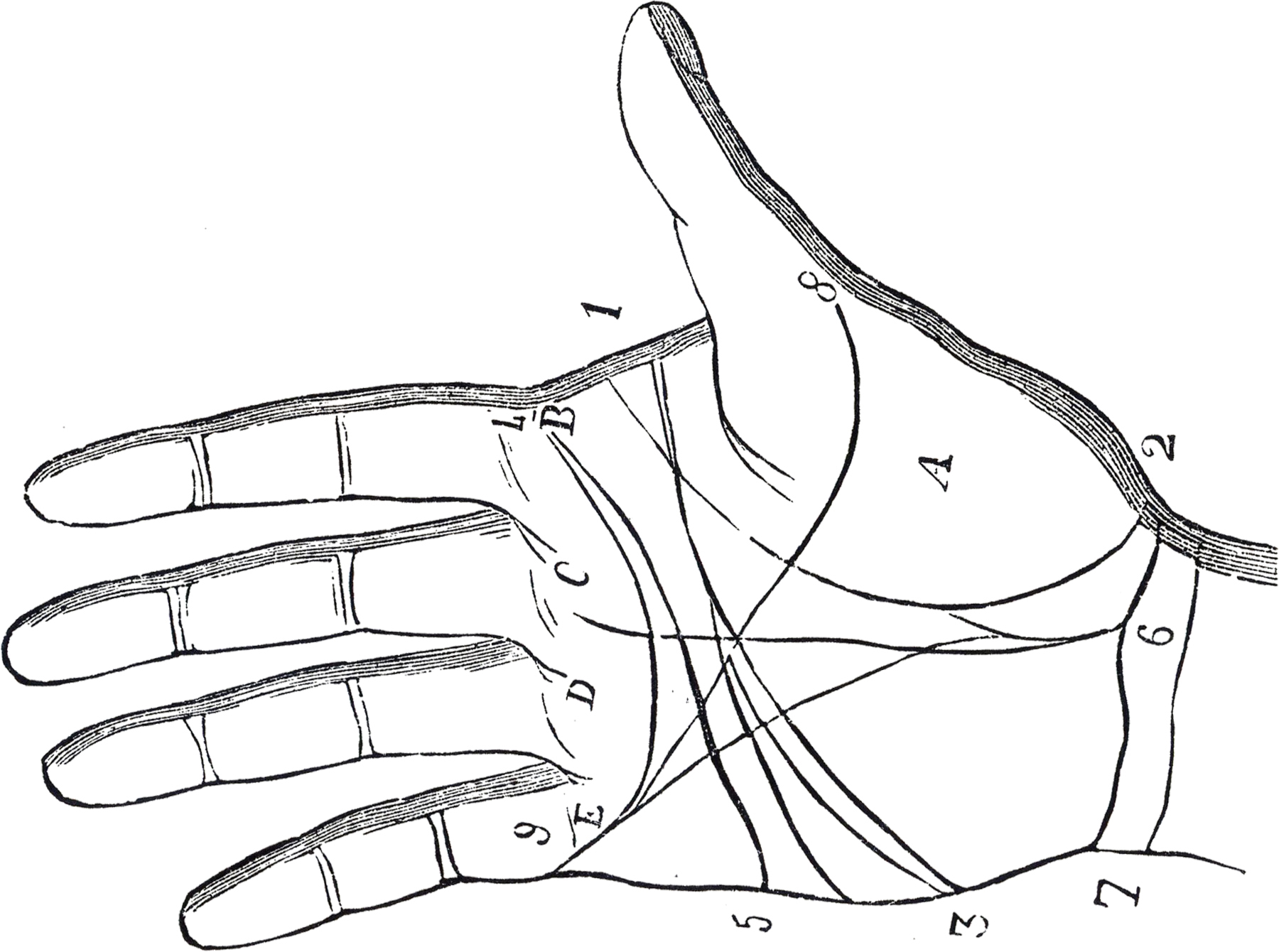 Diagram Of Palm Of Hand Toyskids