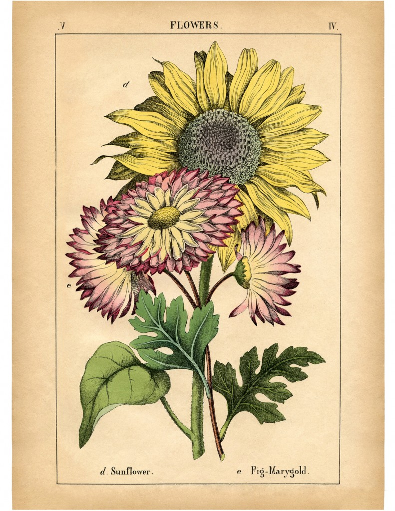 Lovely Vintage Sunflower Printable! - The Graphics Fairy