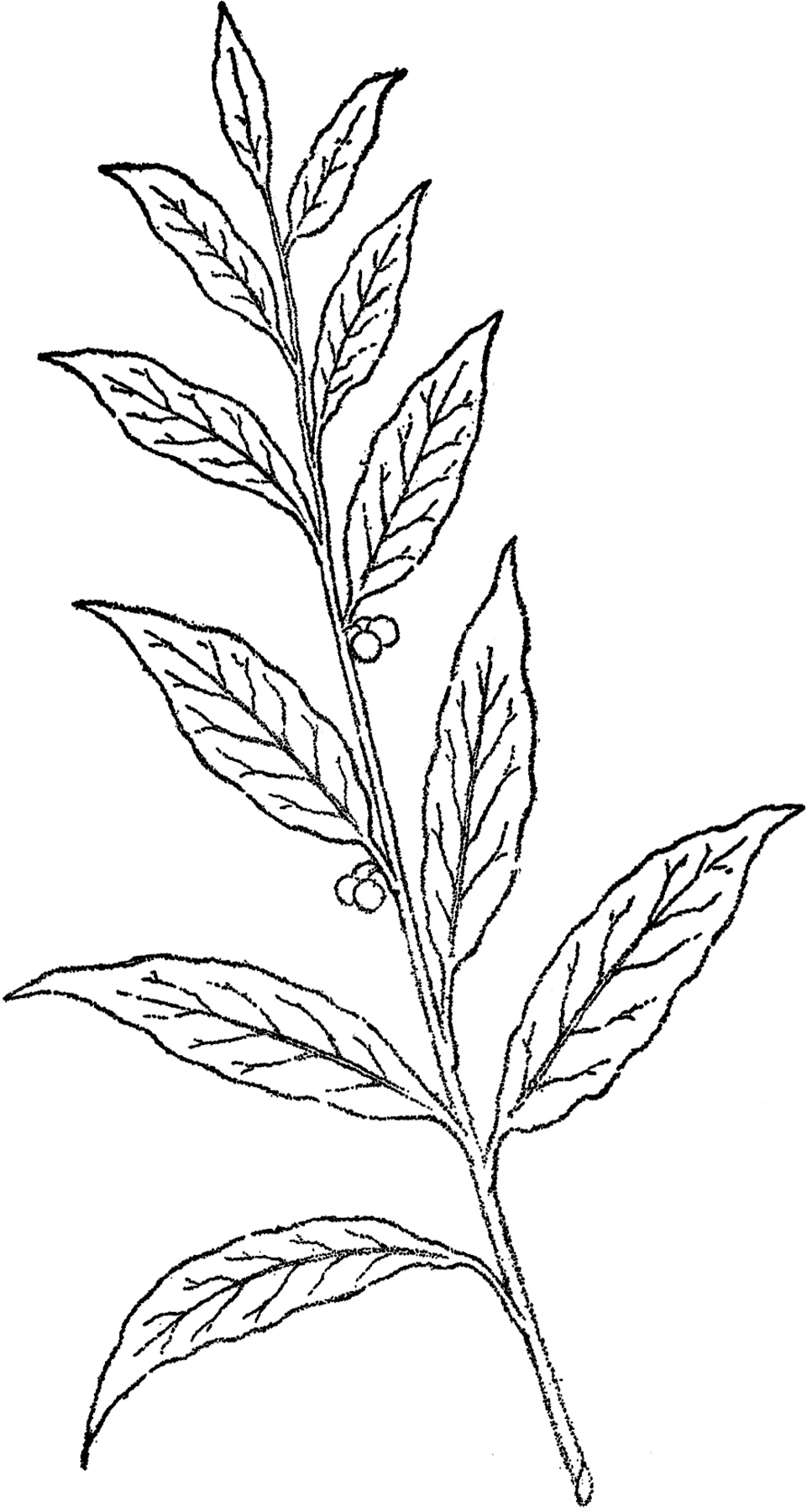 Flower Leaf Line Drawing : Pretty berry branch line art the graphics fairy