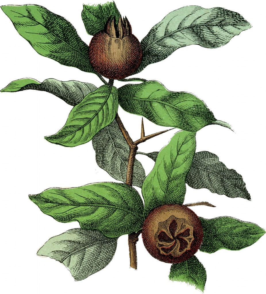 Botanical Medlar Fruit Image