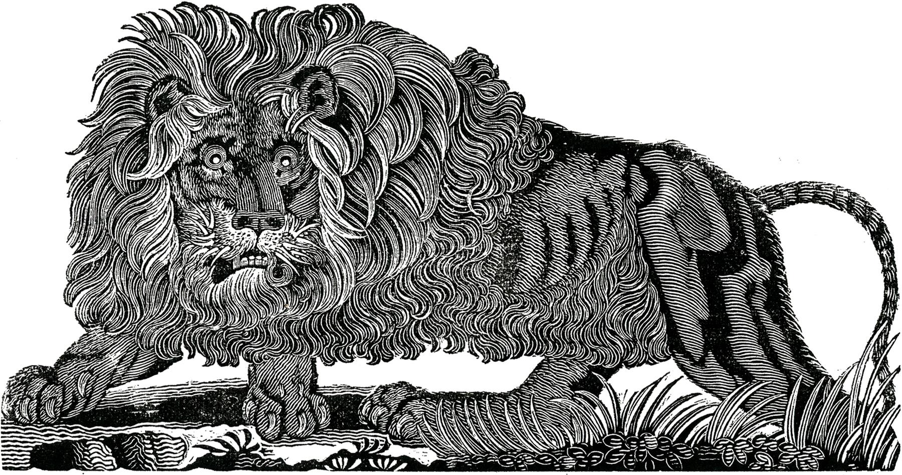 free public domain lion image the graphics fairy