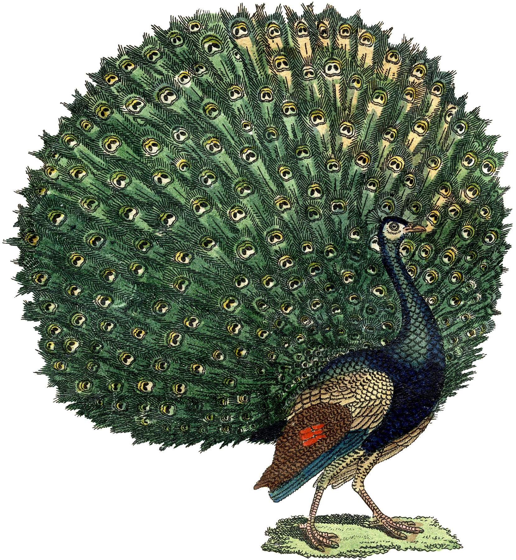 The Graphics Fairy: Fabulous Free Public Domain Peacock Image!