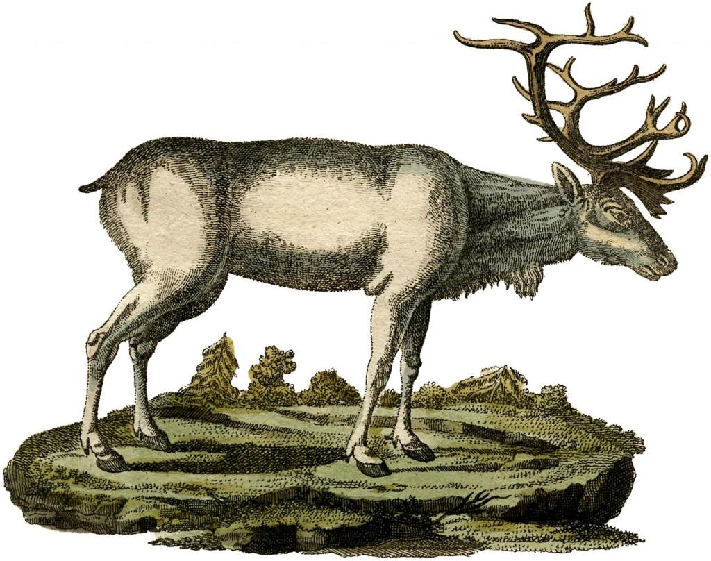 Free White Reindeer Image