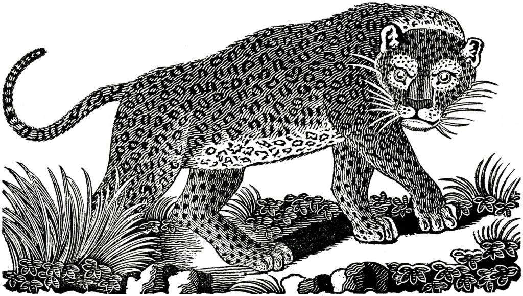 Public Domain Leopard Image