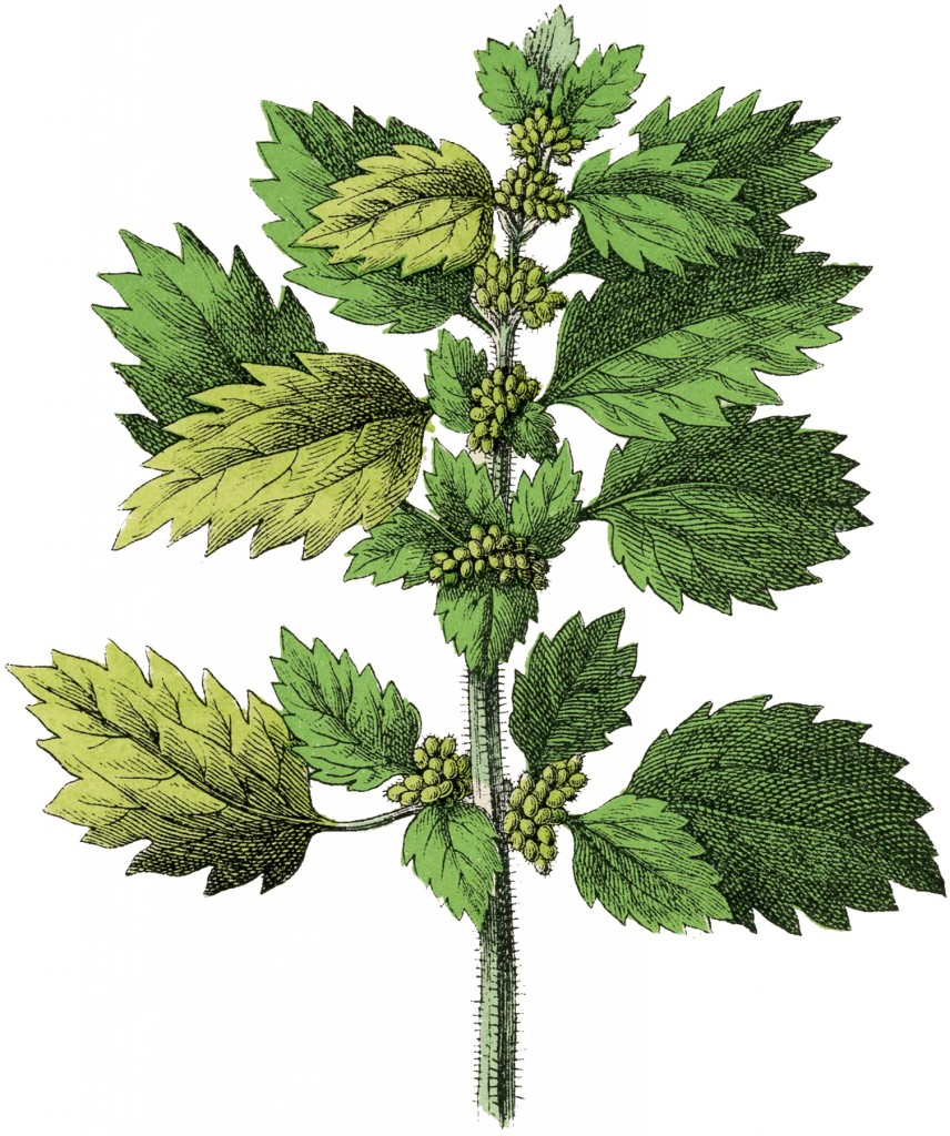 Botanical Nettle Herb Image