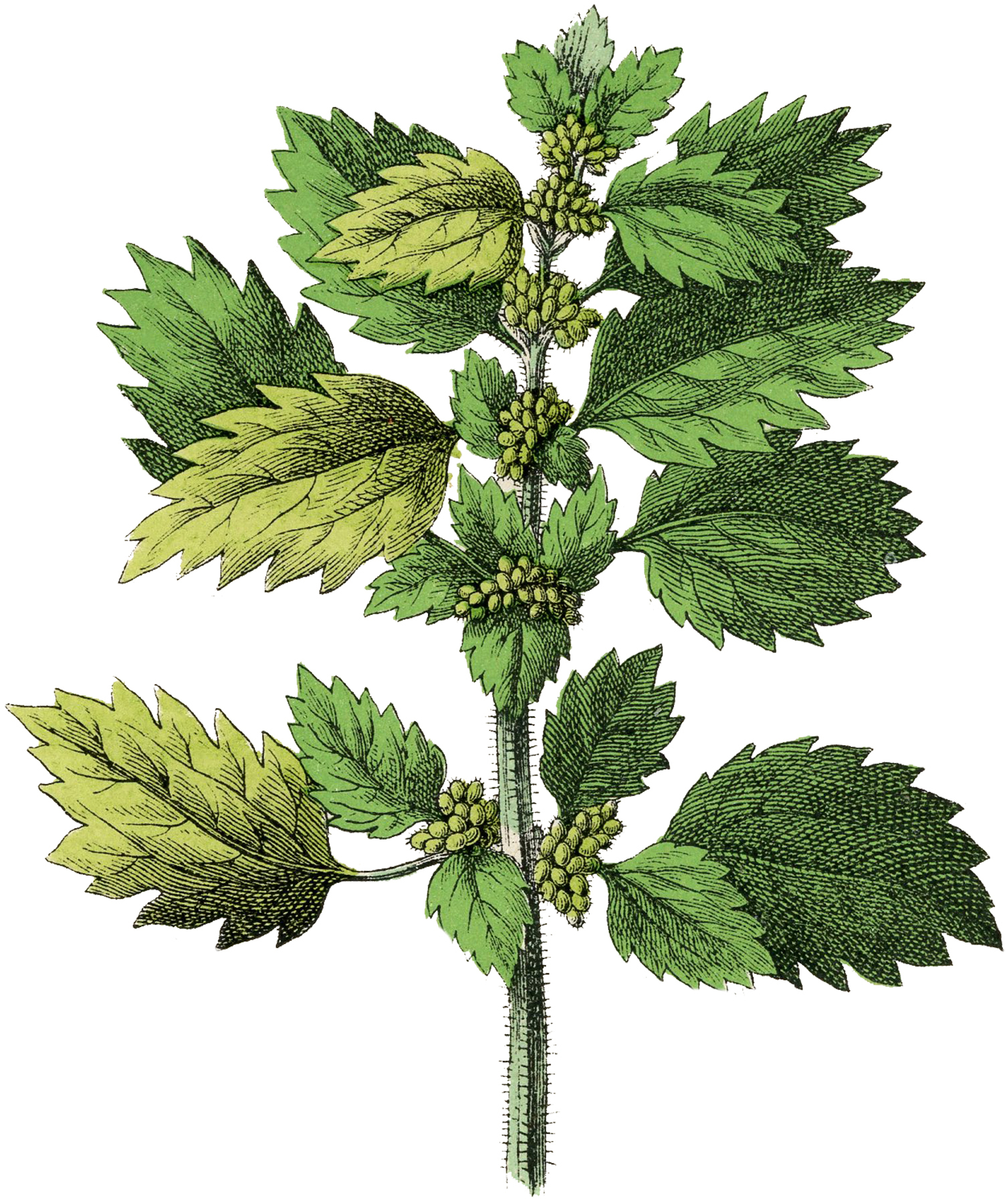 Botanical Nettle Herb Image - The Graphics Fairy