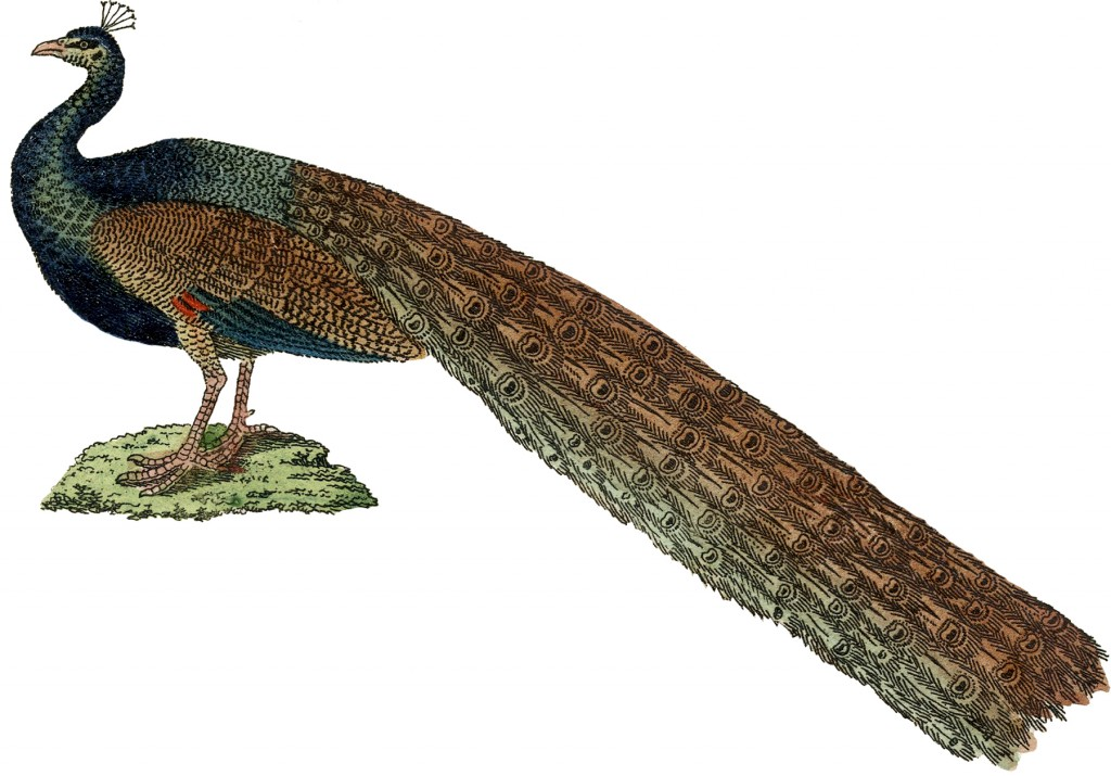 Public Domain Peacock Image