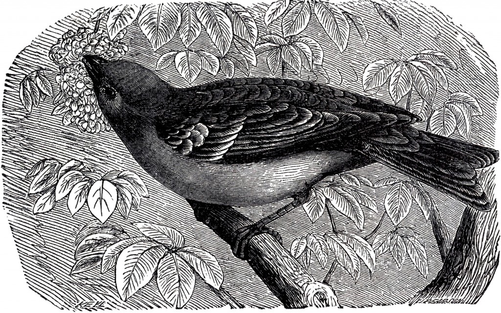 Antique Bird Engraving