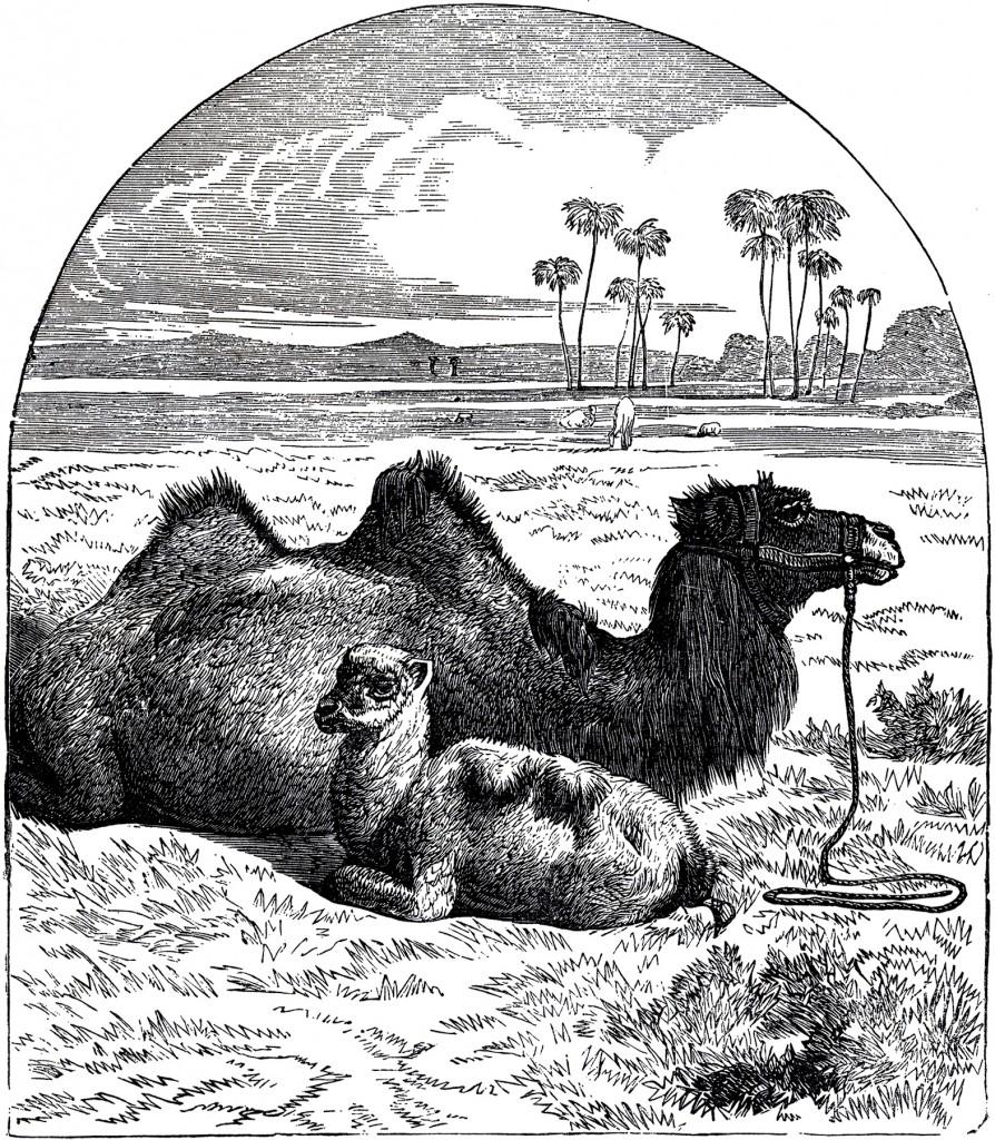 Public Domain Camel Image