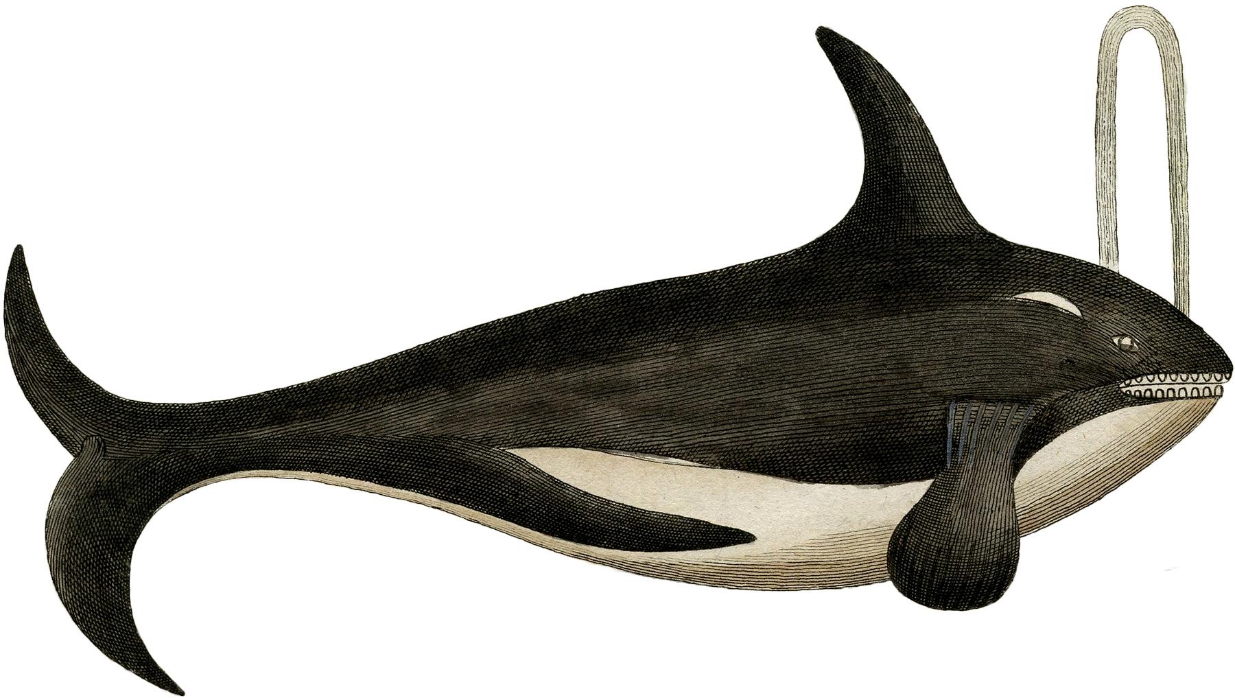 antique killer whale image