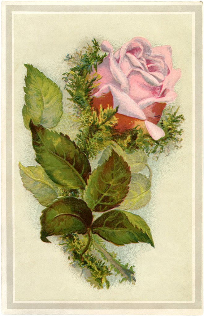 gorgeous vintage pink moss rose image the graphics fairy