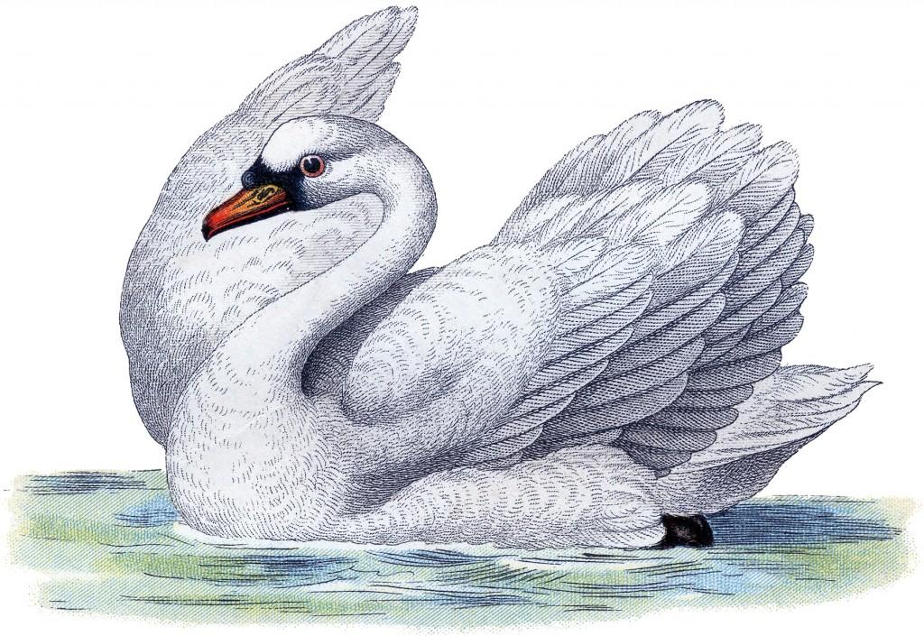 Free Swan Image